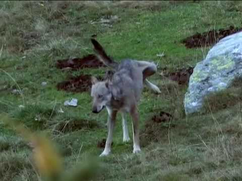 Meet the Wolf - Il Lupo italiano (Valsusa o Valle di Susa)