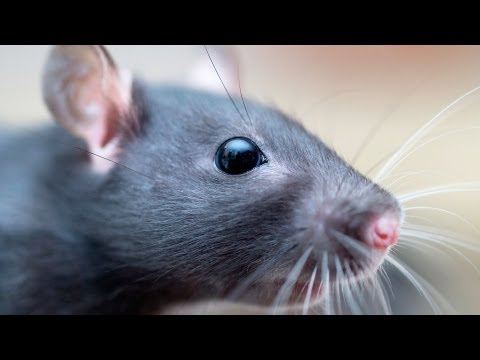 What's Owning a Pet Rat Like? | Pet Rats