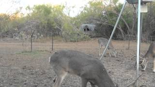 Bowhunting South Texas Whitetail 12/13/14