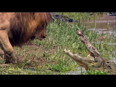 Lion vs Crocodile- The King of the Animals