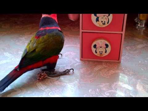 Latihan Trik Burung Nuri Kepala Hitam [dul] video