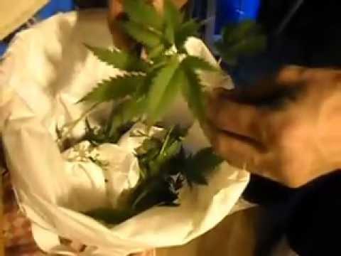 plantando maconha mostrando como clonar part 1