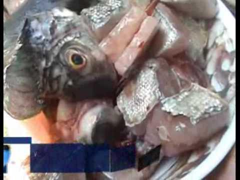 Ikan Buas dari Amazon ada di Yogyakarta