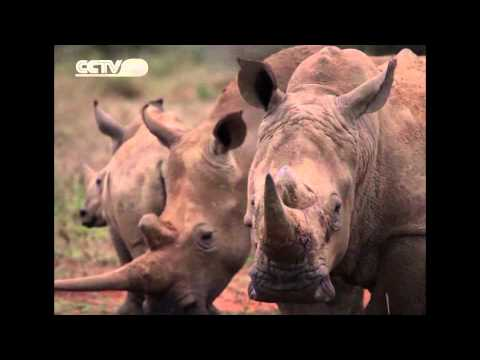Kenya battles with poachers to save the dwindling rhino population
