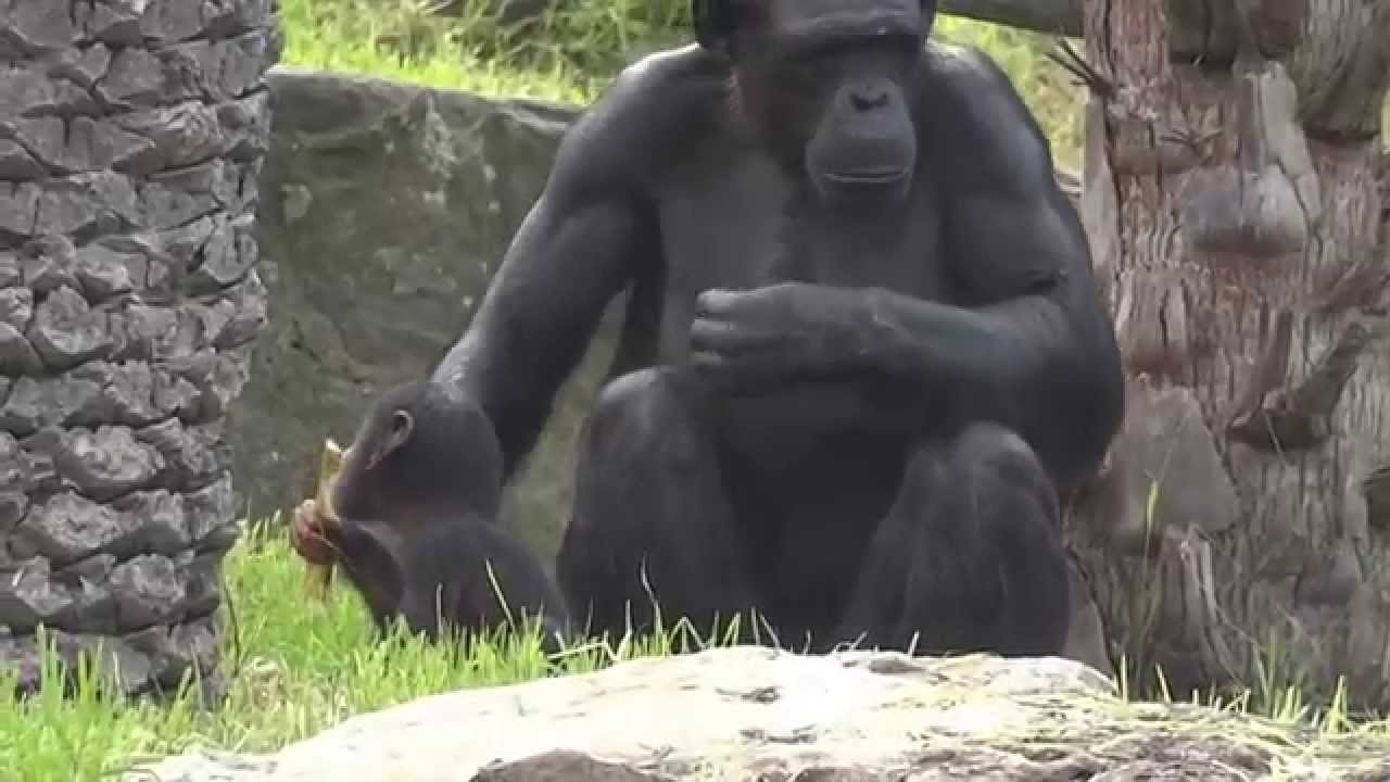 Newborn baby chimpanzee