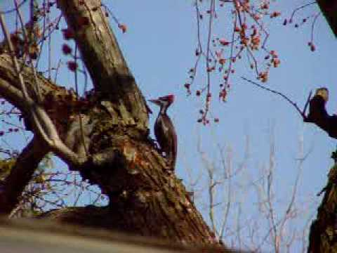 ivory billed woodpecker sighting