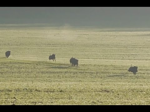 Tirs Sur 5 Sangliers En Plaine (pétarade) ! Les Plus Beau Loupés !!