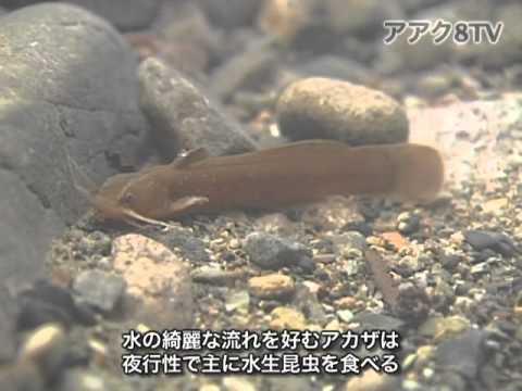アアク8TV水中映像 ×Goovie 岐阜県の魚類18  川底の魚達