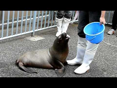 オタリアの赤ちゃん02(ちょうだい)江戸川区自然動物園「きらり」-Otaria