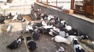 Agra beautiful pigeons india, Indian