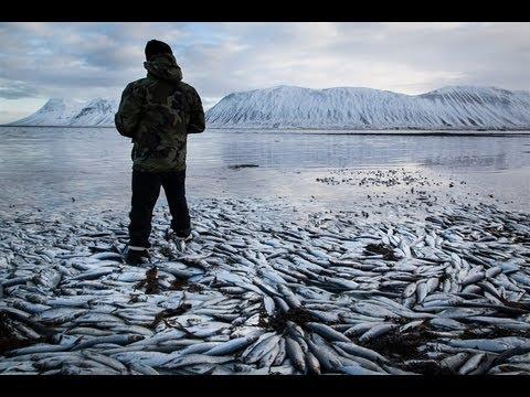 Apocalyptic! FISH KILL 10s of MILLIONS - Herring ICELAND .... 2.6.13. Mystery!
