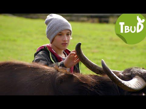 Schwarze Büffel (Folge 80)   Tiere bis unters Dach   SWR Kindernetz