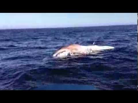 Great White near dead Minke whale in Santa Barbara Channel