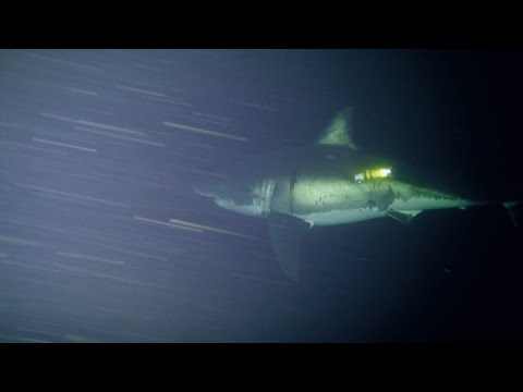 Great White Naps for First Time on Camera