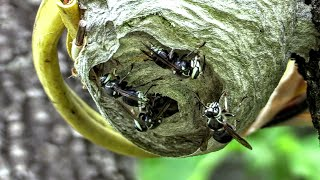 Bald Faced Hornet Nest Time Lapse Yellow Jackets Bulb Nest ASMR