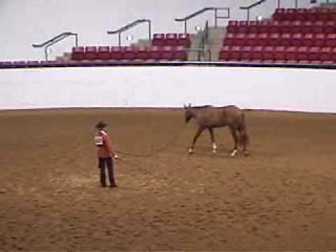 Redheartchilipepper - Top 10 ~ 2008 Appaloosa World Show Yearling Longe line
