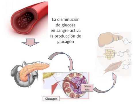 Mecanismo de accion de las hormonas - YouTube