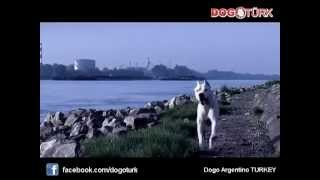 Dogo Argentino - Rocky Version