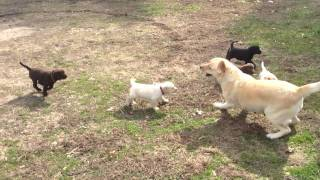 Lab Puppies Playing Outside with Momma