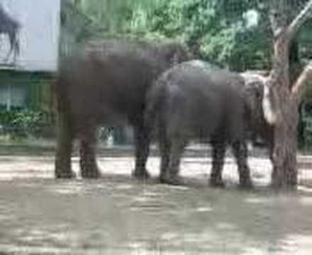 elephants having sex at berlin zoo garden 1/2