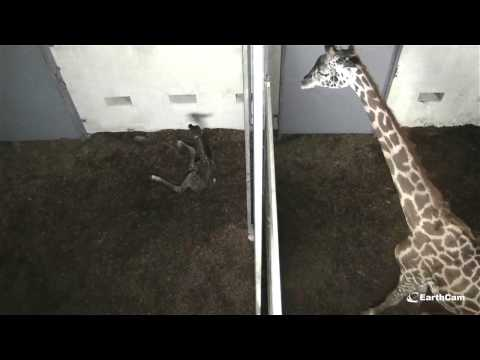 Live Giraffe Birth at The Greenville Zoo