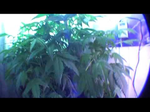 Cannabis In The Closet   Bubbleponic System