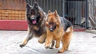 Cool Dogs. КРУТЫЕ Длинношерстные Немецкие Овчарки. Long haired German Shepherd.