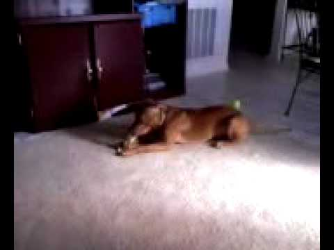 Red nose Pitbull 10 month old puppy Chocolate 1 Video