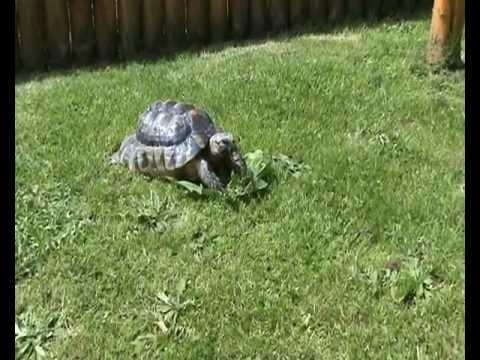 Marginated Tortoise Care Rex The Marginated Tortoise