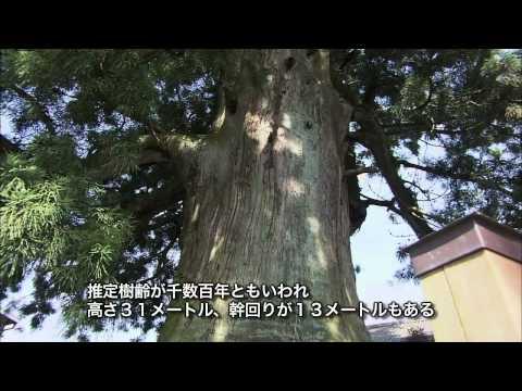 岐阜県の巨木・銘木04「加子母の大杉」