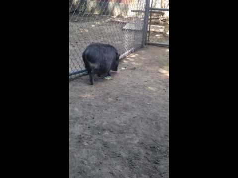 Mini Pig Information 101 - Outdoor space
