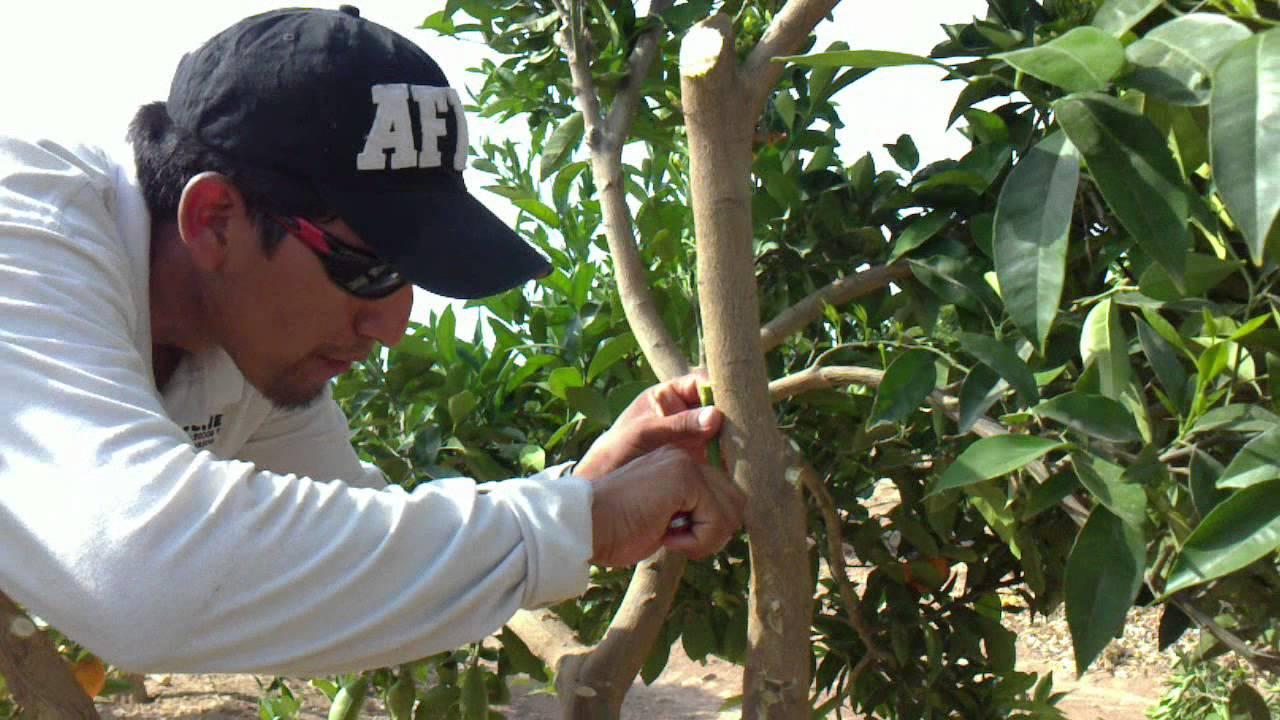 Como injertar citricos finca lo romero murcia espa a mp4 youtube - Cuando se plantan los arboles frutales ...