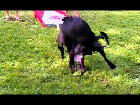 2 pit bulls both boys humping each other