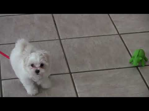 Cute Puppy - Bella's toy trouble :(