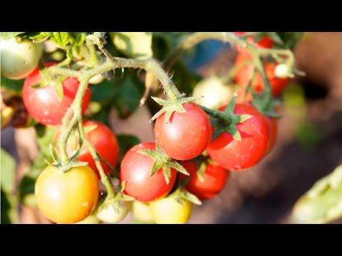 Clique e veja o vídeo Curso Produção de Tomate para Indústria