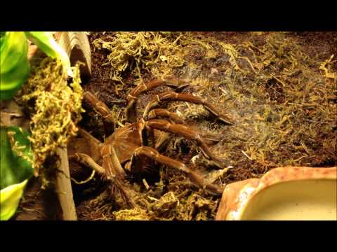 Burgundy Goliath Birdeater / Theraphosa stirmi  - Big, but by no means slow!