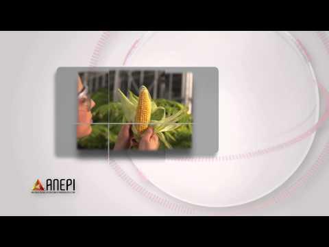 Francia prohíbe el maíz transgerico de Monsanto