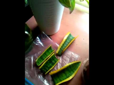 propagating mother in laws tongue youtube. Black Bedroom Furniture Sets. Home Design Ideas