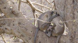 مشهد حزين لقردين فقدا رضيعهما بسبب الحر
