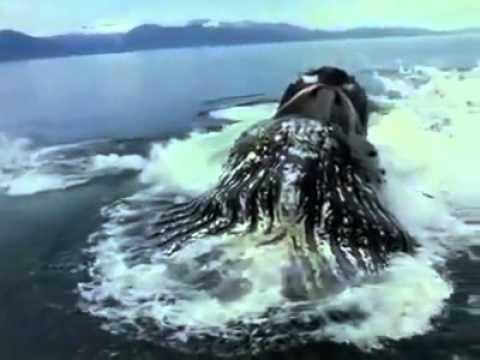 اكبر حوت في العالم الحوت الازرق The World S Largest Whale