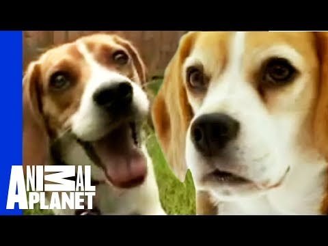 Μπίγκλ - Beagle Hound Dog