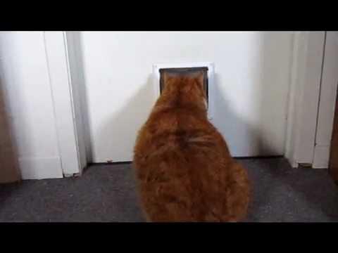 fat cat vs little cat door - YouTube