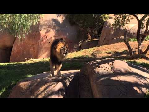 Lion's Roar At San Diego Zoo Safari Park video