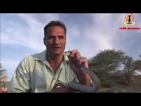 اخطر الافاعي السامة في افريقيا  تهاجم البشر 29/09/2016 thumbnail