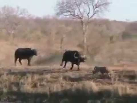 Спасение буйволёнка