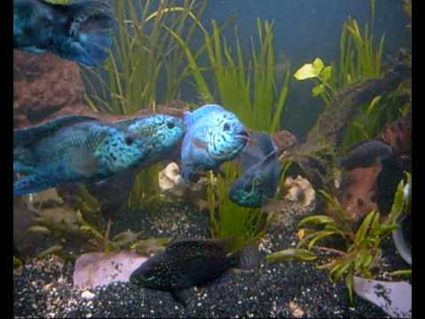 Electric blue jack dempseys youtube for Google fish tank mrdoob