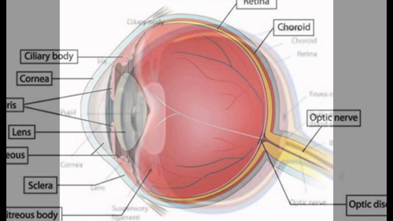 Anatomy of eye lens