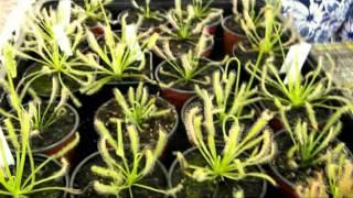 CARNIPLANT- Plantas carnivoras- Cuidados básicos de Drosera capensis