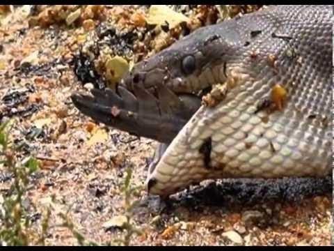 Caught On Camera: Snake Devours Crocodile after 5 Hour Battle [HD]