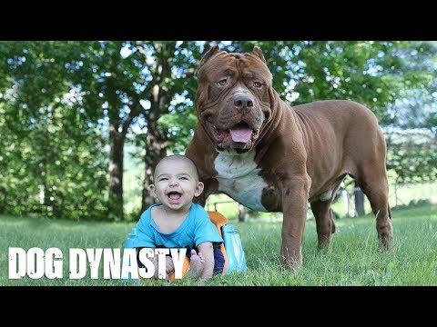 Giant Pit Bull Hulk & The Newborn Baby